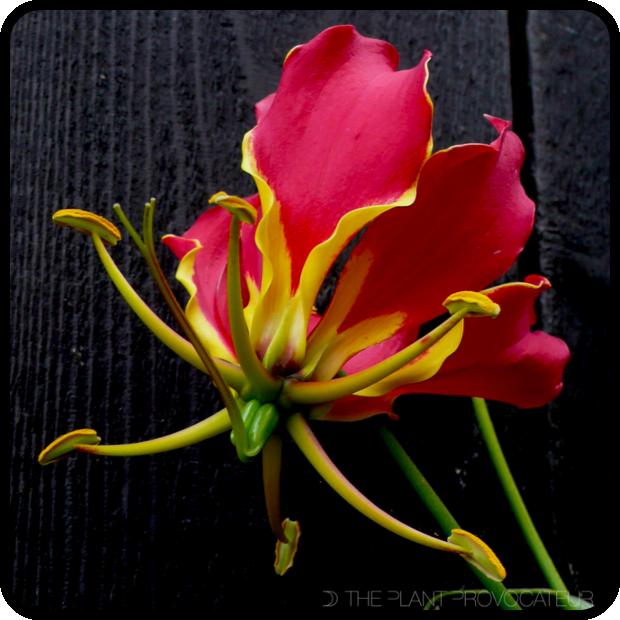 |Gloriosa superba 'Rothschildiana' floral profile|