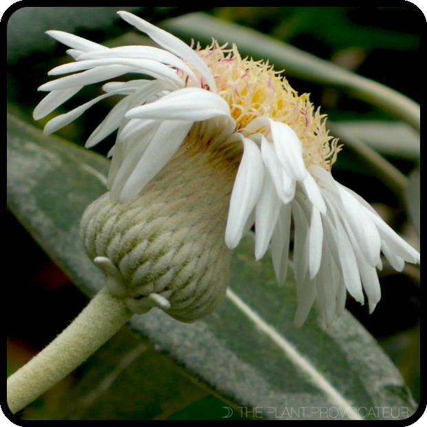 |Pachystegia insignis floral profile|