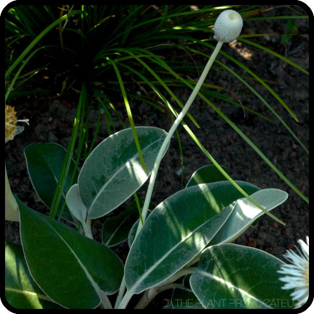 |Pachystegia insignis form + foliage|