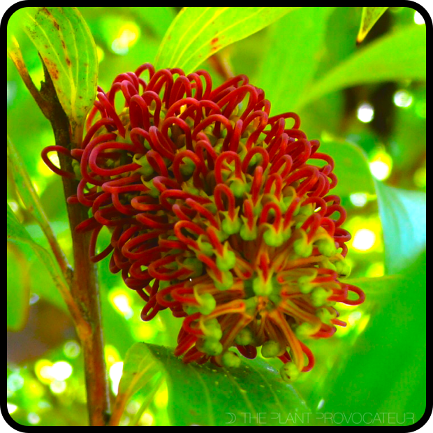 |Hakea archaeoides floral profile|
