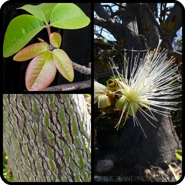|Pseudobombax ellipticum 'Album' foliage + form + bark|