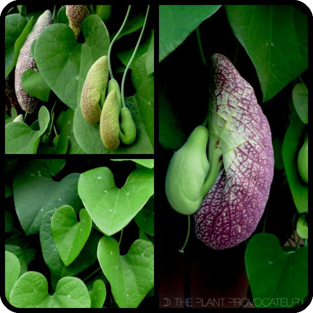 |Aristolochia gigantea details|