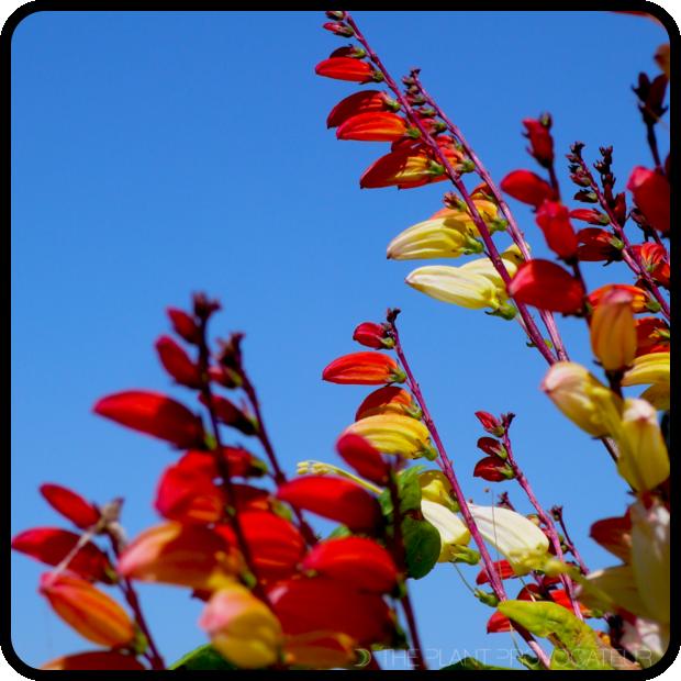 |Mina lobata floral profile|