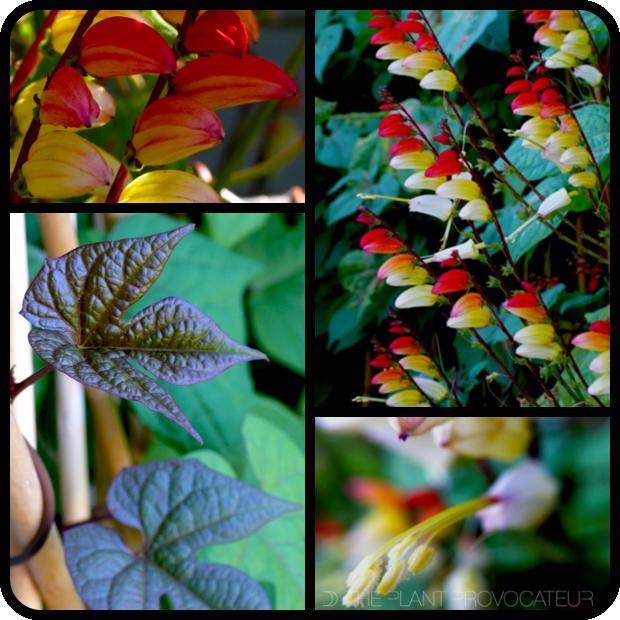 |Mina lobata flower + form + foliage|