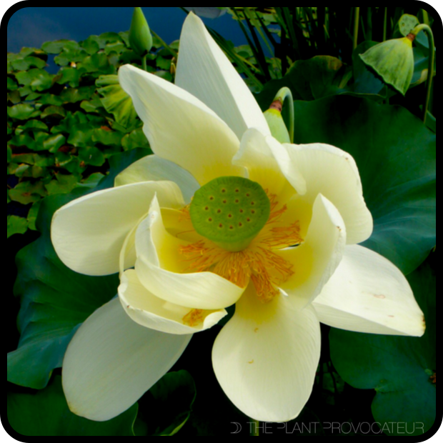  Nelumbo nucifera floral profile 