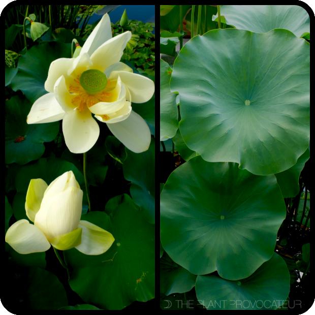 |Nelumbo nucifera foliage + flower|