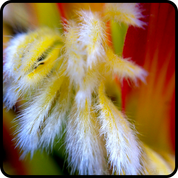  Mimetes cucullatus floral detail 