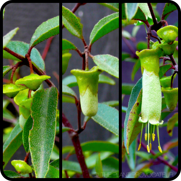  Correa baeuerlenii bud + flower formation 