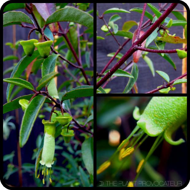  Correa baeuerlenii form + stem + flower detail 