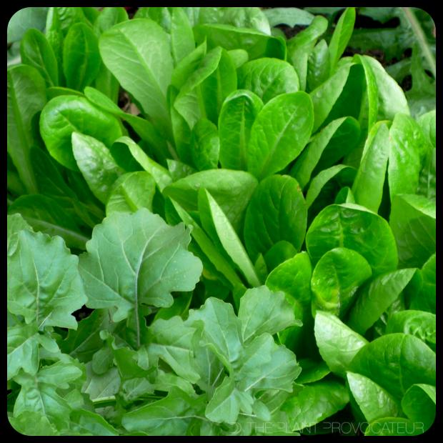|Little Gem Lettuce + Arugula|