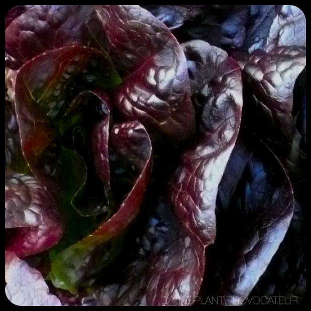 |Rhazes Little Gem Lettuce|