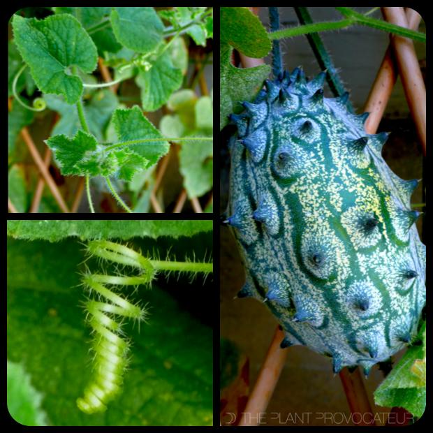  Cucumis metuliferus vine + fruit + tendril 