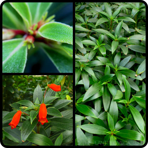 |Seemannia slyvatica - foliage + form + flower|