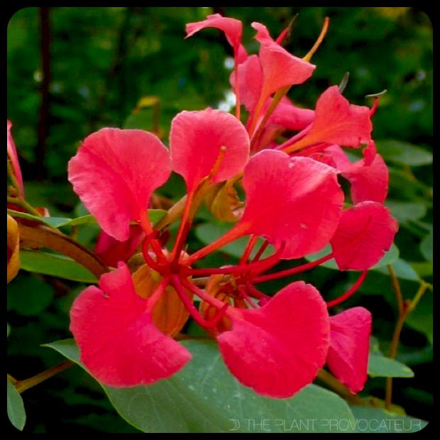 |Bauhinia galpinii - floral profile|