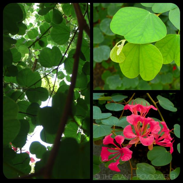 |Bauhinia galpinii - form + foliage + flower|