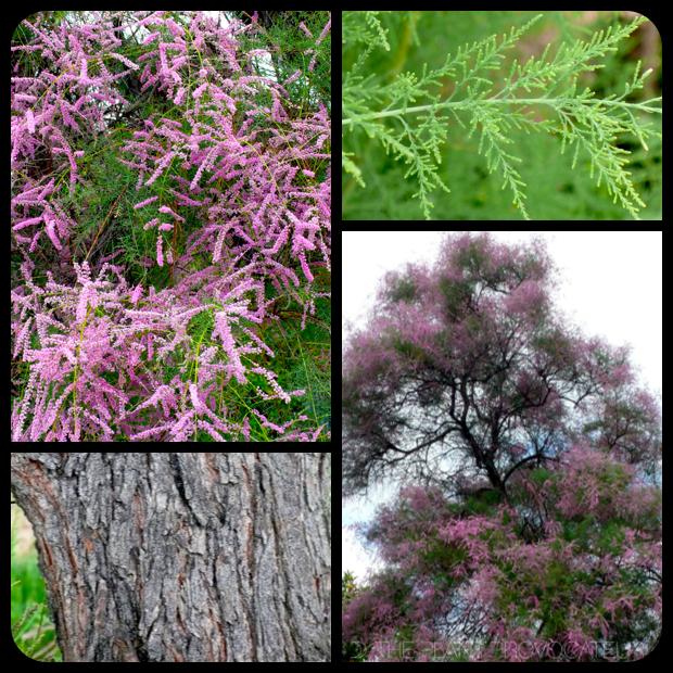 |Tamarix ramosissima flower + foliage + form|