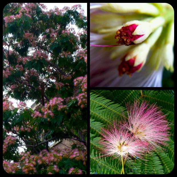 |Albizia julibrissin form + bud + flower|
