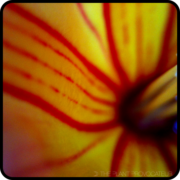 |Stictocardia beraviensis floral detail|