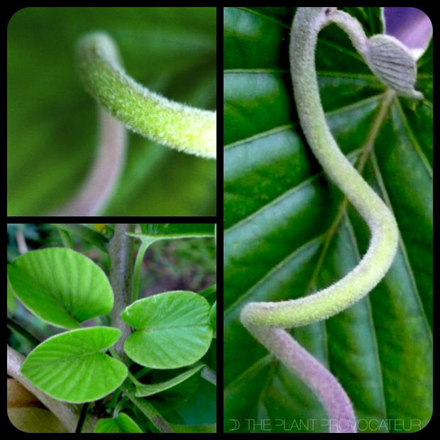 |Stictocardia beraviensis tendril + texture|