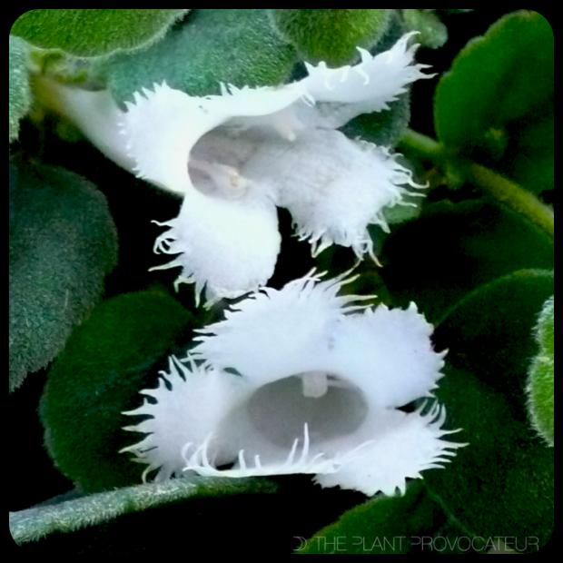 |Alsobia dianthiflora floral profile|
