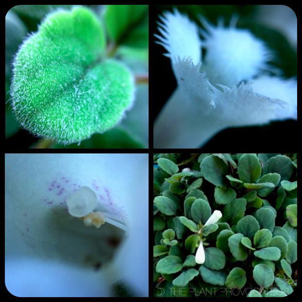 |Alsobia dianthiflora foliage + flower + form|