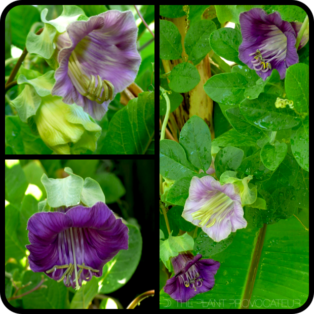 |Cobaea scandens phases of flower|