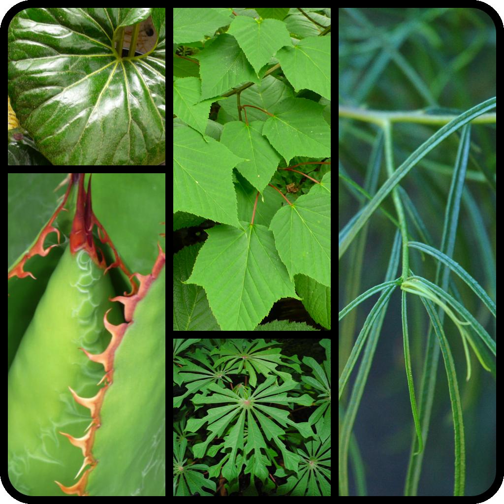""" clockwise L to R Farfugium japonicum 'Giganteum"""" Acer davidii Myoporum floribundum Manihot esculenta Agave bovicornuta """