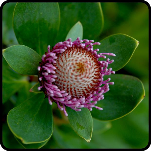 |Isopogon latifolius|