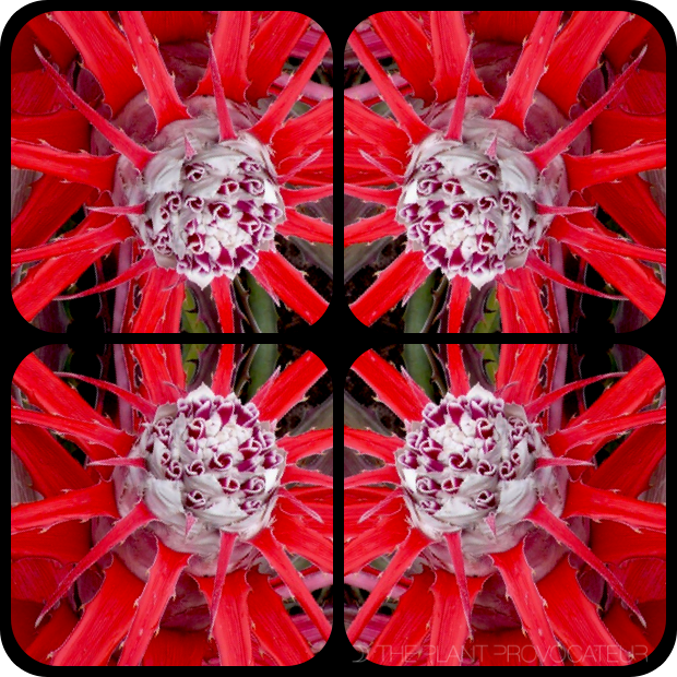 |Bromeliad Kaleidoscope|