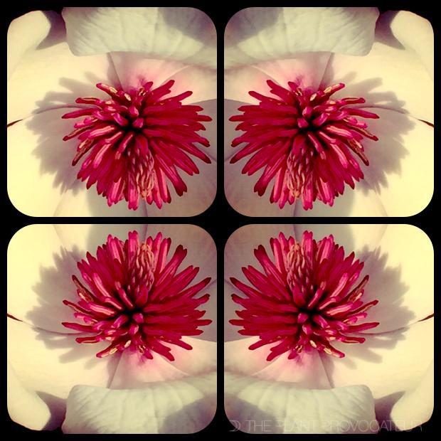 |Magnolia kaleidoscope|