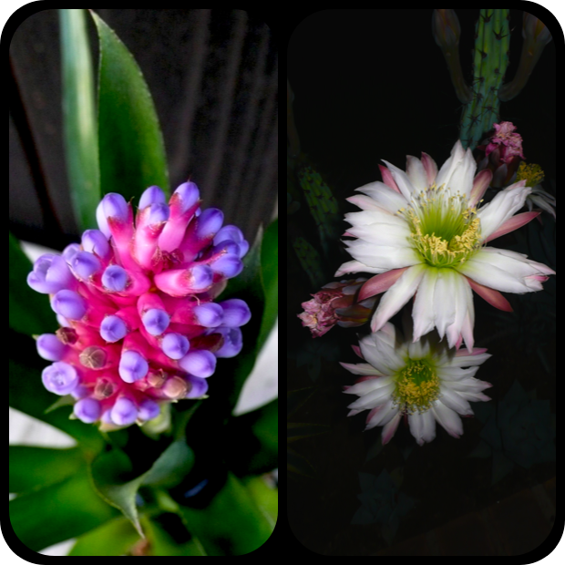 |Aechmea sp. + Cereus forbesii|