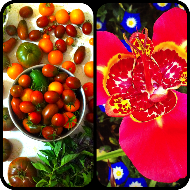 |Heirloom Tomatoes + Tigridia pavonia|