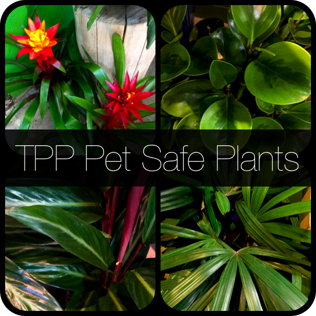 Clockwise from Upper Left to Right and around: Guzmania (a type of bromeliad), Peperomia, Rhapis excelsa (Lady Palm), and Calathea sanguinea.