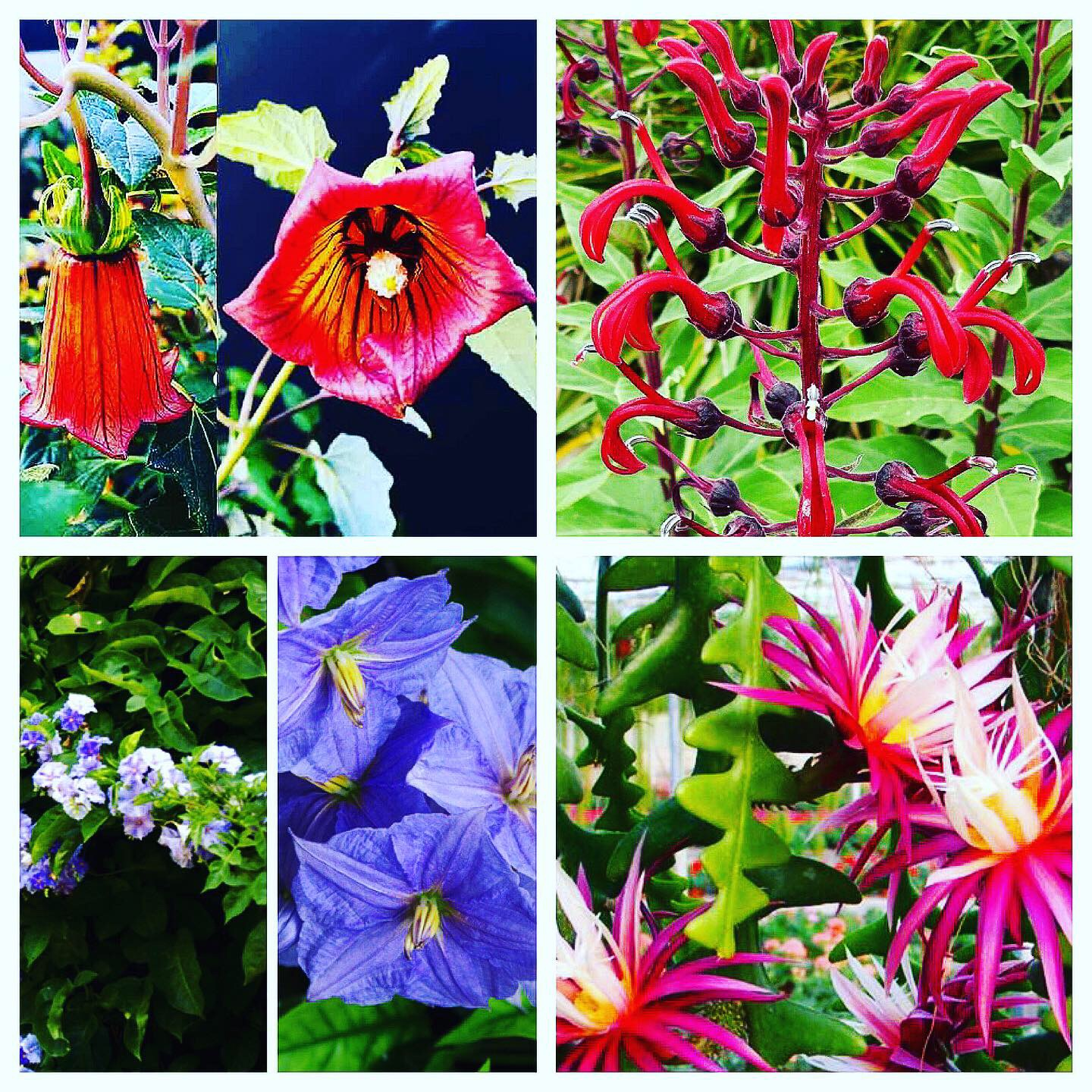 Clockwise from Top Left: Canarina canariensis 'Canary Bell Flower Vine', Lobelia tupa 'Devil's Tobacco, Selenicereus anthonyanus 'Fishbone Cactus' , and Solanum wendlandii 'Costa Rican Night Shade'
