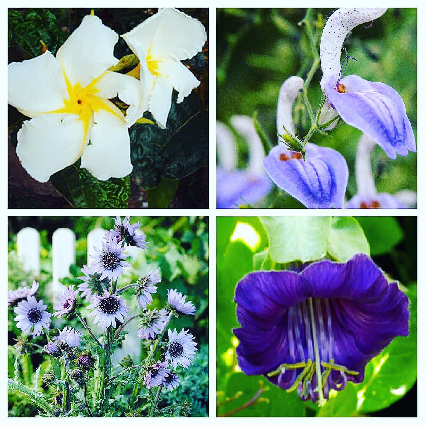 Clockwise from Top Left: Chonemorpha fragrans 'Frangipani Vine', Brilliantaisia owariensis 'Tropical Giant Salvia', Cobaea scandens 'Cup and Saucer Vine', and Berkheya purpurea 'African Thistle'