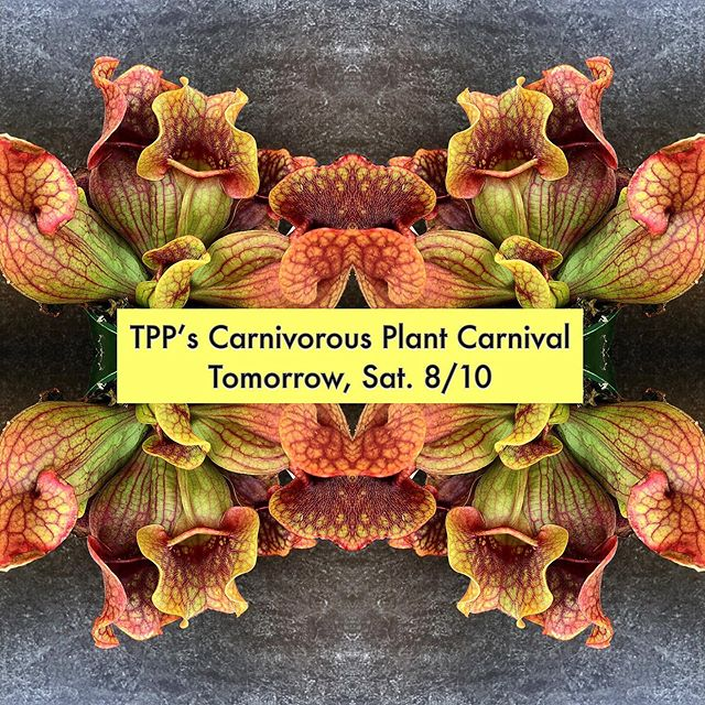 Tomorrow Only! It's ON! TPP's Carnivorous Plant Carnival is happening all day Saturday! Plants are first come first serve. There will be Insect Eating Venus Fly Traps, American Pitcher Plants, Tropical Pitcher Plants, and Sundews on hand.  Prices will vary as there will be rare, unusual, difficult to find, one of a kind (hybrids) for the offering. I'll be on hand to explain what you can expect from your plant and how to care for it. These are some of the strangest plants you'll meet.  If you're a plant collector or obsessed with provocative plants come on over! Hours are 11am-6pm. #plantprovocateur #carnivorousplants #insecteatingplant #carnivore #bugeatingplants #strange #beautiful #plants #plantlover #bogplants #alien #specimens #onetimeoffer #venusflytrap #nepenthes #pitcherplant #sundews #sarracenia #diverse #plantshop #silverlake #losangeles