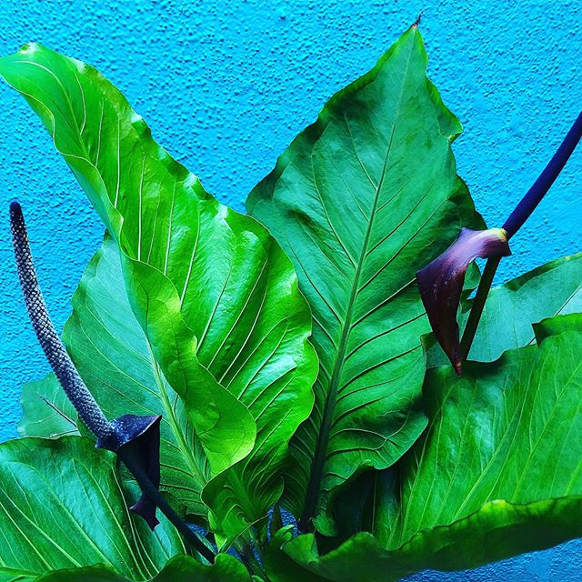 Plant Lover Alert! Got some cool new Tropicals in the shop that YOU need! Two Jurassic Park lookin' big leaf bountiful, not often available, Anthuriums...A. crassinervium with its stunning DEEP purple crazy flowers and A. superbum giving us rippled resort tropicalia vibes. (Swipe R to L) And something sweet and special for you terrarium Fern Lovers... the rarely offered Heart-Leaf Fern, Hemionitis arifolia. They need good humidity so it's best to keep them under glass. Such amazingly cool plants that need YOUR LOVE! Check it out...#plantprovocateur #anthurium #fern #plantlove #tropical #jurassic #bigleaves #bigfoliage #resort #style #hemionitisarifolia #heartfern #flowers #hot #houseplants #lush #leafy #vibes