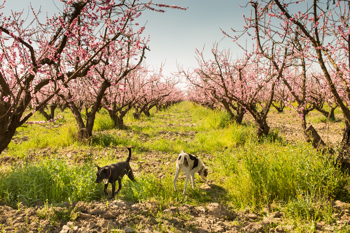 A grove of the famed Sun Crest peaches in bloom