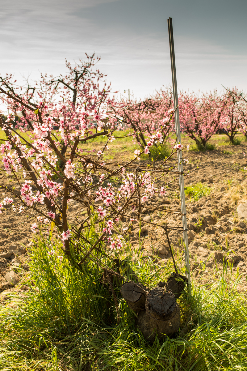 A Sun Crest peach tree is bound with ropes for two purposes: to train the branches to grow into the right shape and to support the branches from the heavy load of the fruits once they ripen