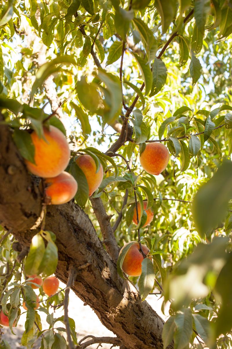 The Elberta peaches.