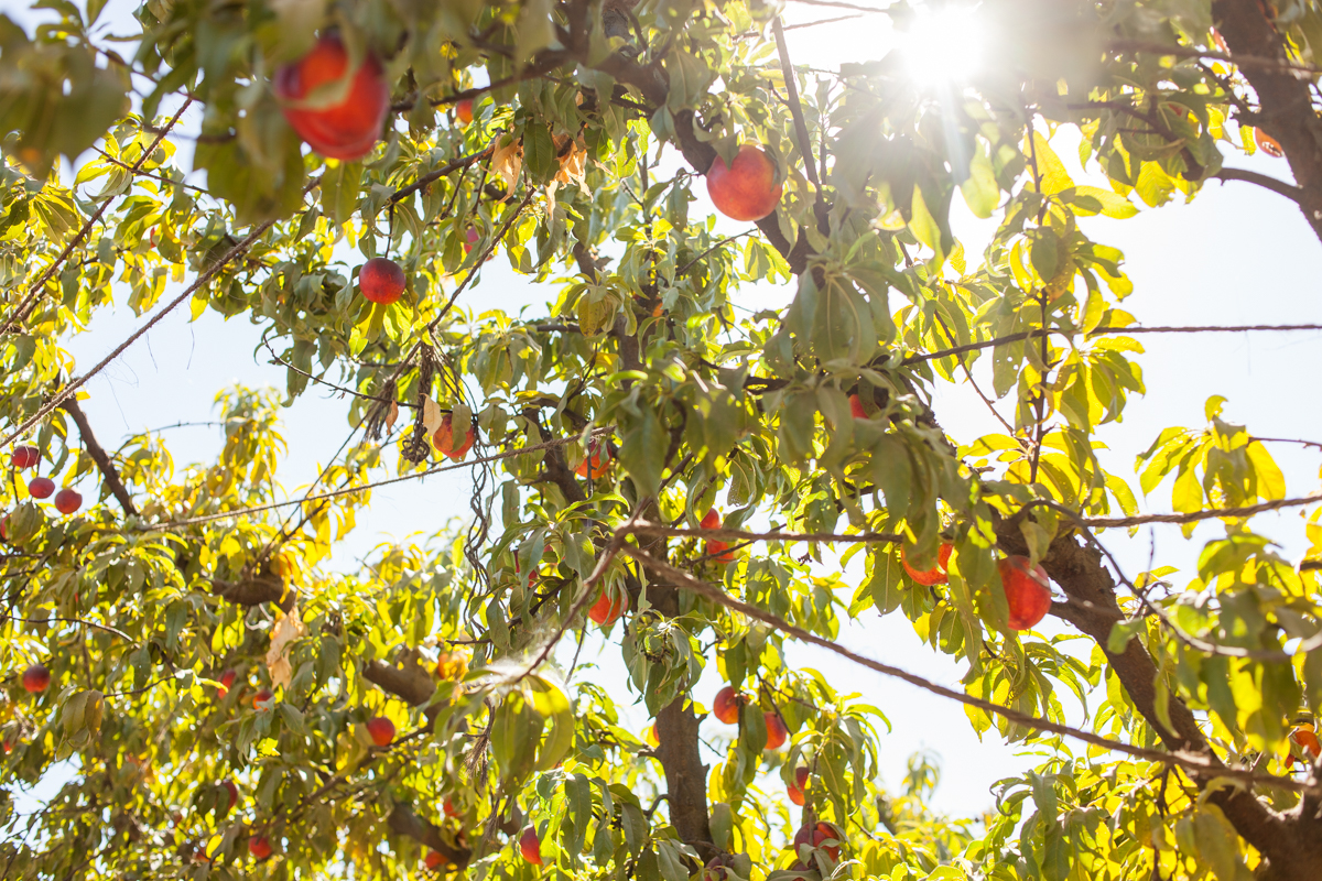 Mas said the ripe nectarines remind him of ornaments on a Christmas tree.