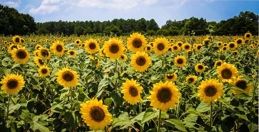 Field of Sunflowers by Penny Lisowski
