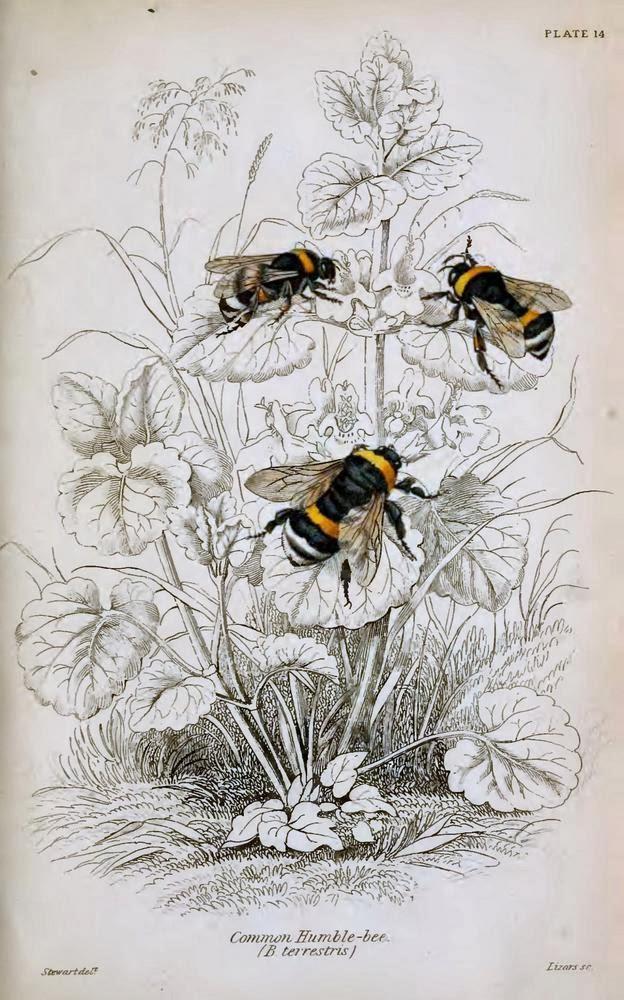William Jardine Lizars Humble Bee Bumblebees Vintage Botanical Print-003.jpg