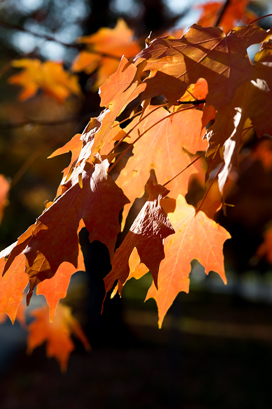 Fall Leaves in the Late Afternoon Sun Stock Photo