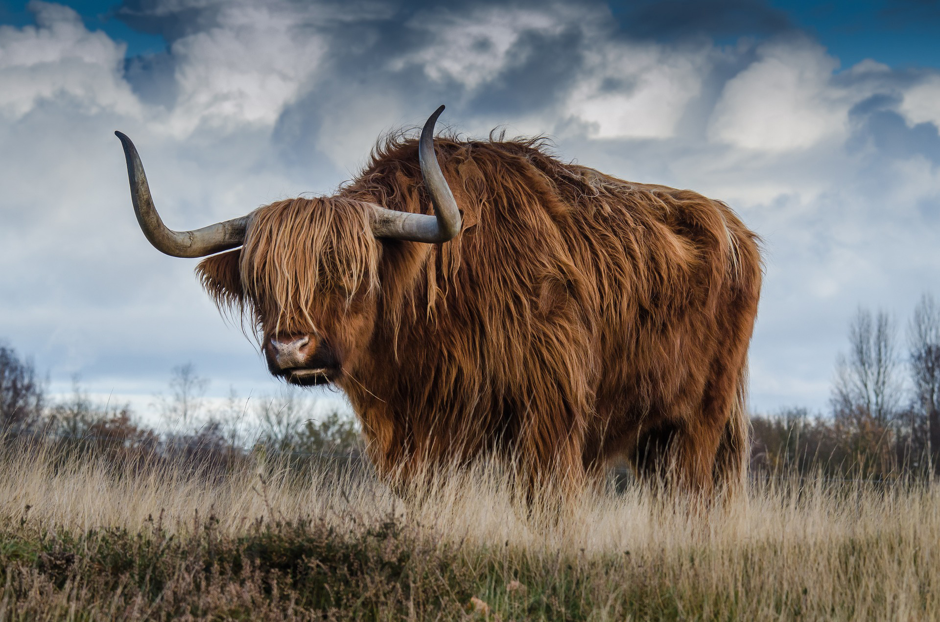 Highland Cow from stock photography site