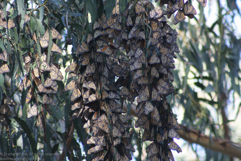 Monarchs-2.jpg