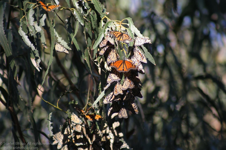 Monarchs-3.jpg