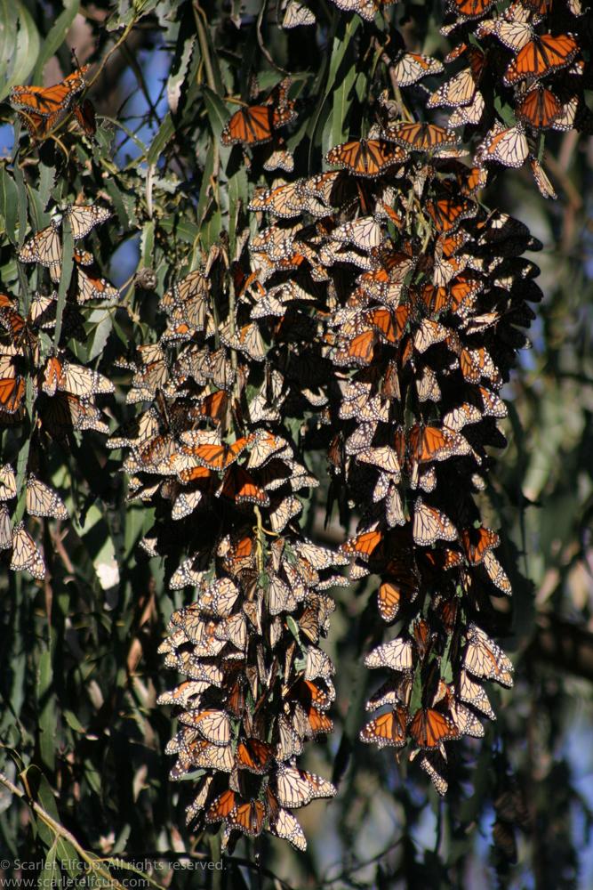 Monarchs-5.jpg