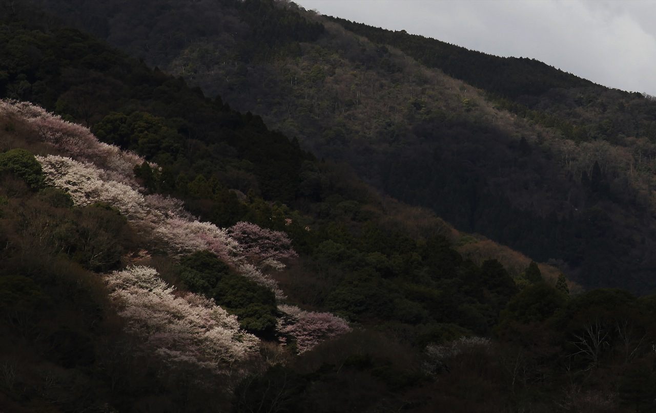 Arashiyama Sakura Trees Expose Themselves (Arashiyama, Kyoto)
