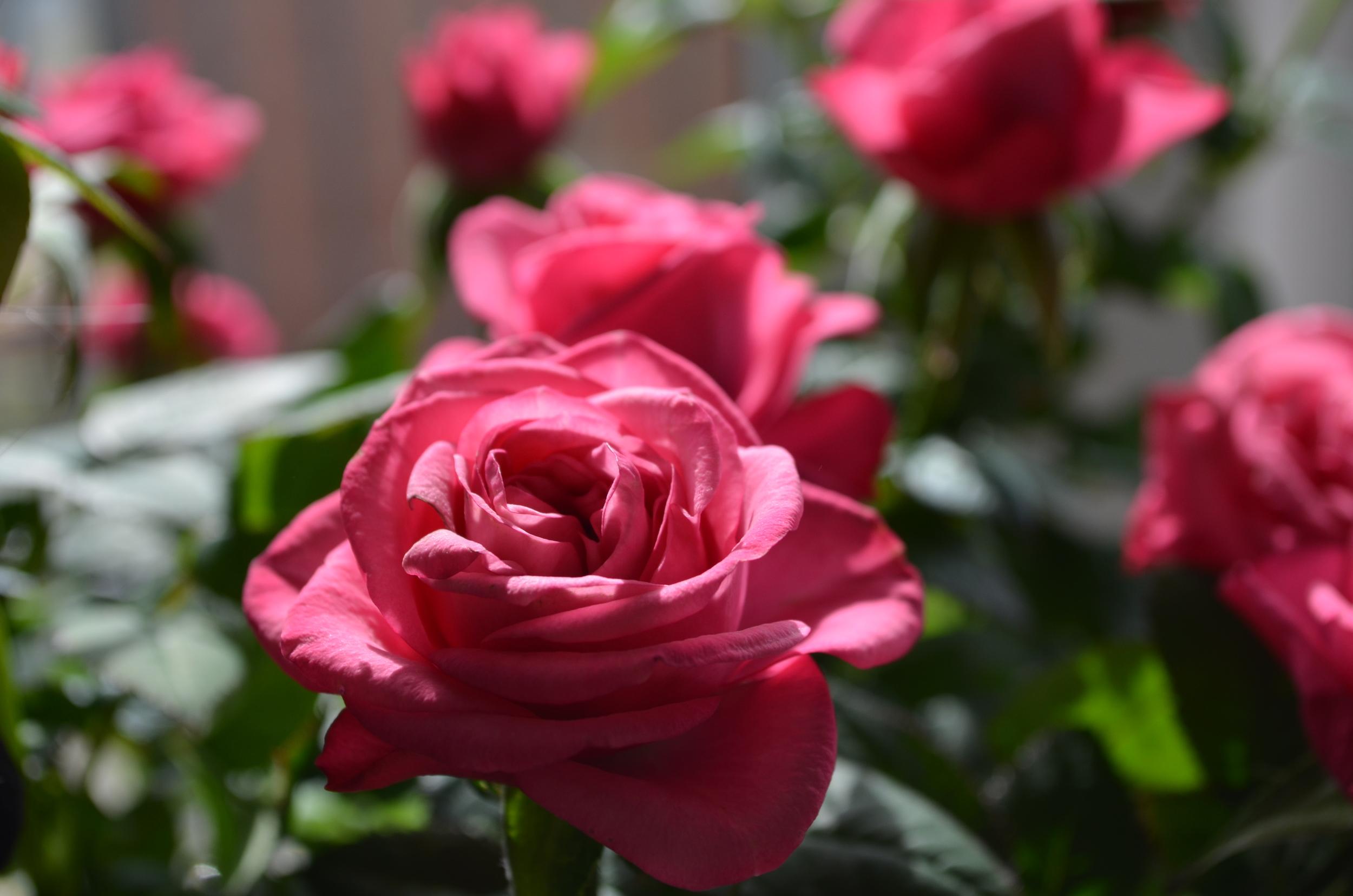 mini pink roses / gardening / warporweft.com